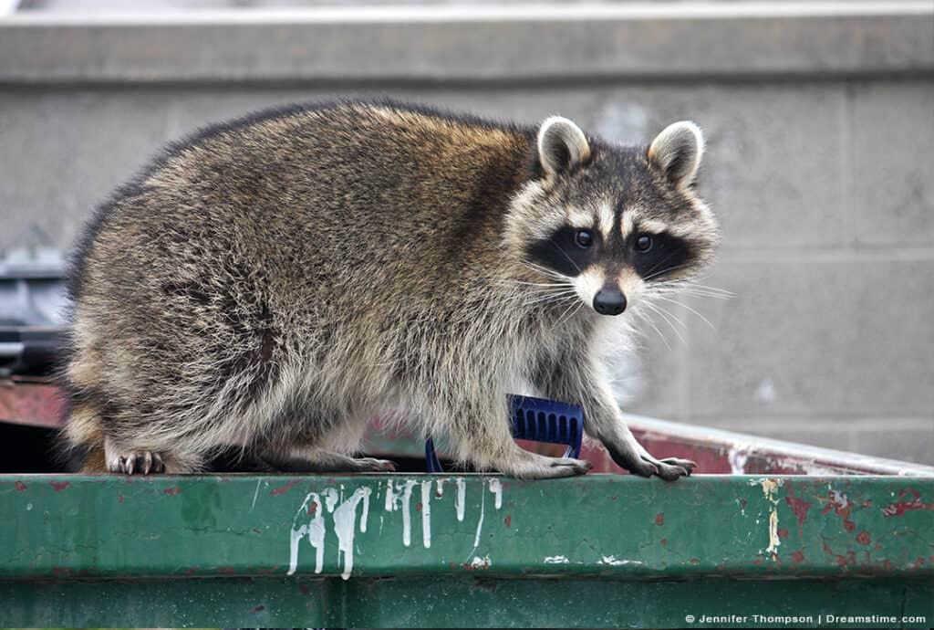 Raccoon Standing on Dumpster