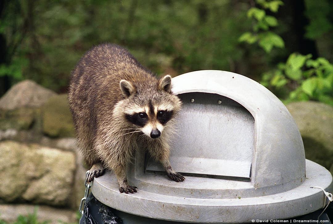 Raccoon Standing on Top of Garbage Lid