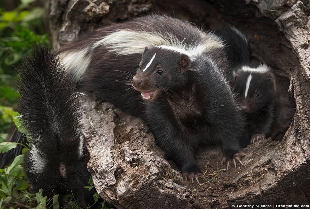 Skunk Hissing Inside of Log