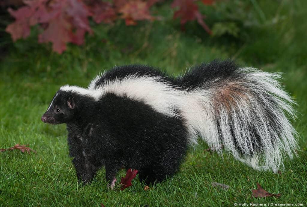 Skunk Standing in Grassy Yard