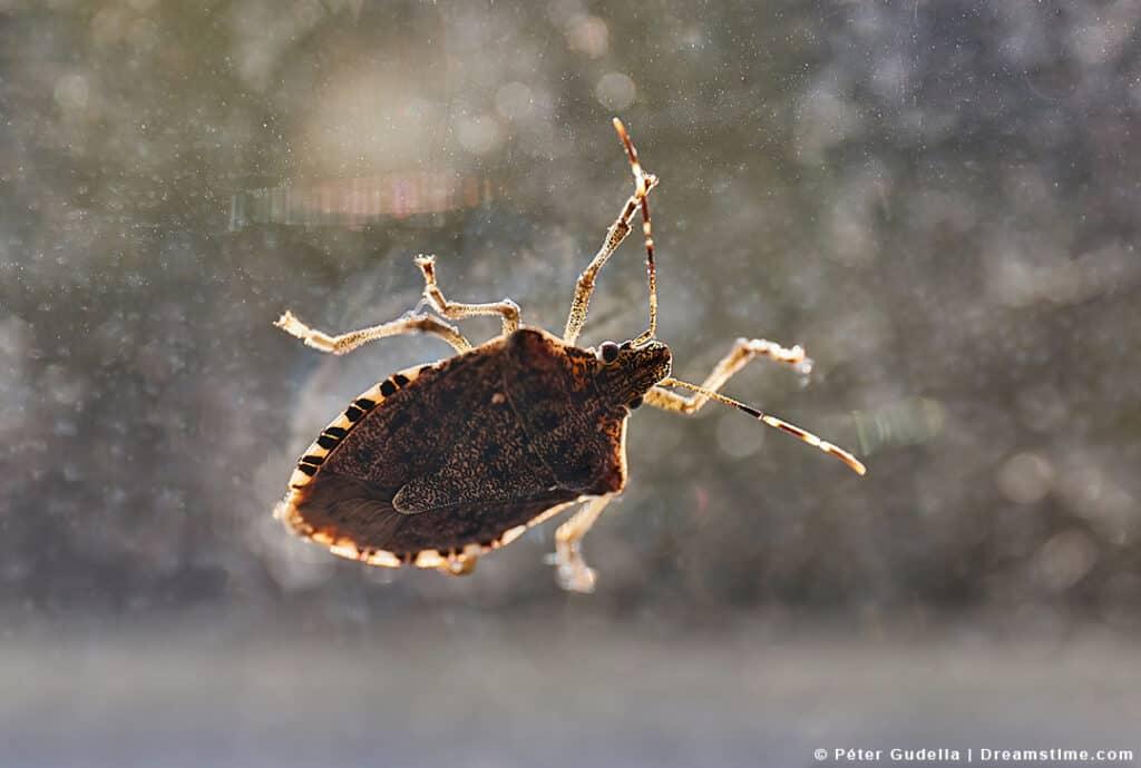 Stinkbug on Window Inside Home