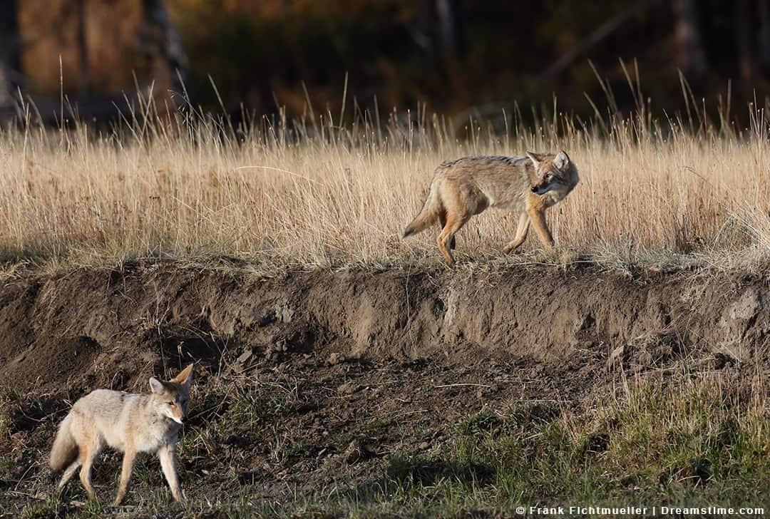Two Coyotes Walking One on Ridge