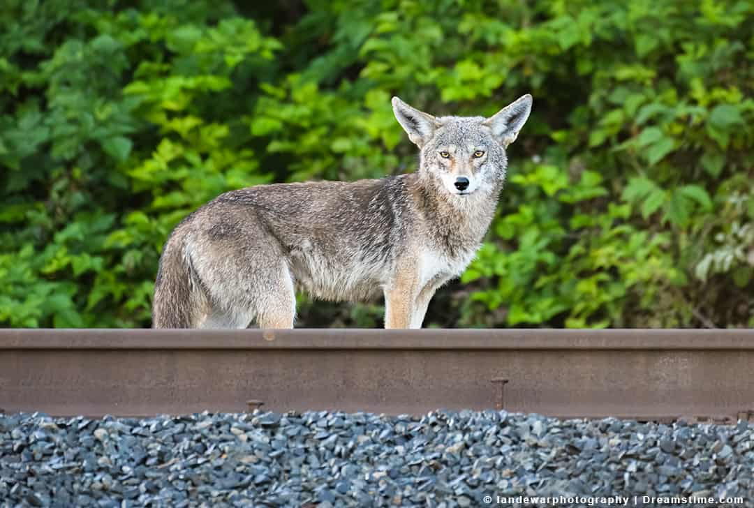 Wild Coyote Standing on Opposite Side of Railroad Tracks