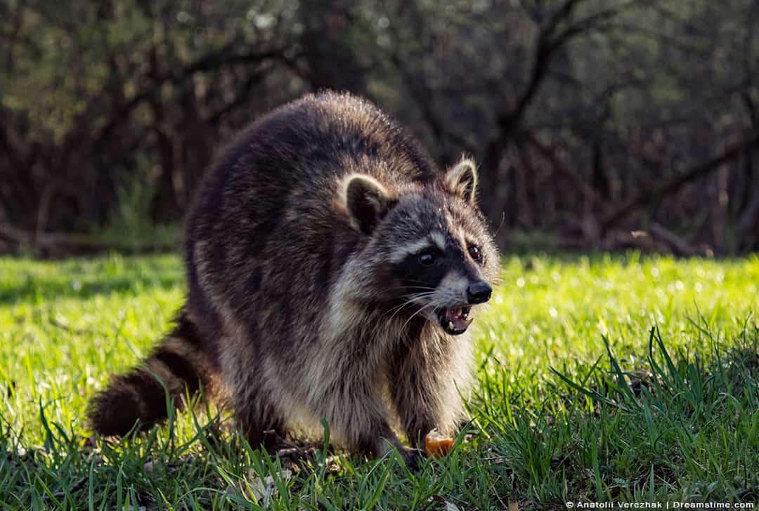 Wild Raccoon in Lawn