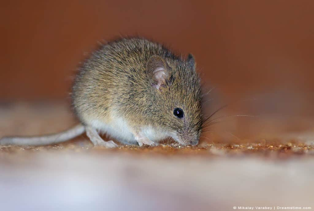 Wood Mouse in Home