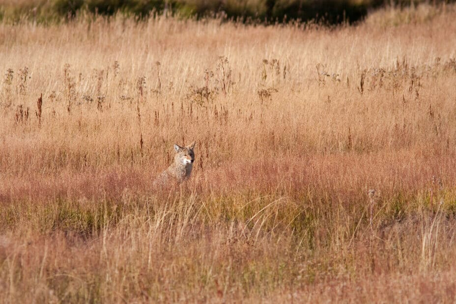Coyote in the grass during fall in Yellowstone park