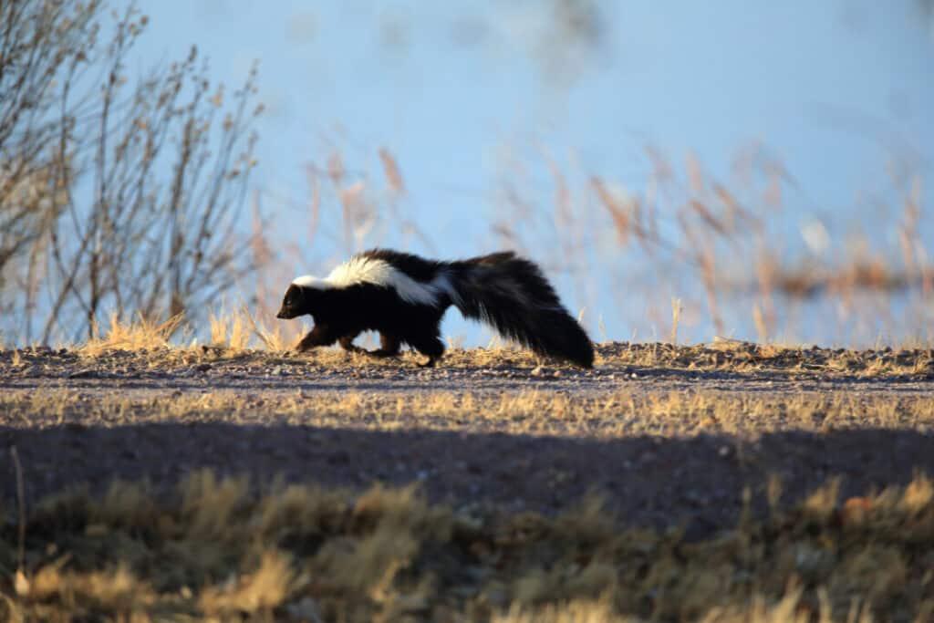 Skunk (Mephitis mephitis) New Mexico Walking on Dirt Road