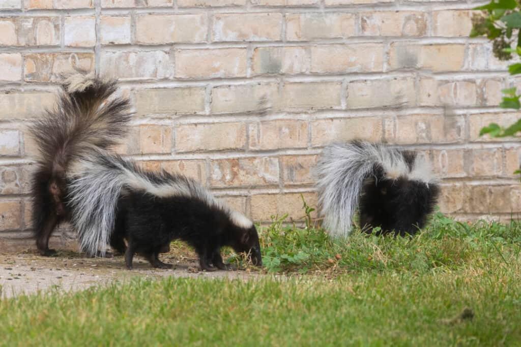 The striped skunk near brick wall