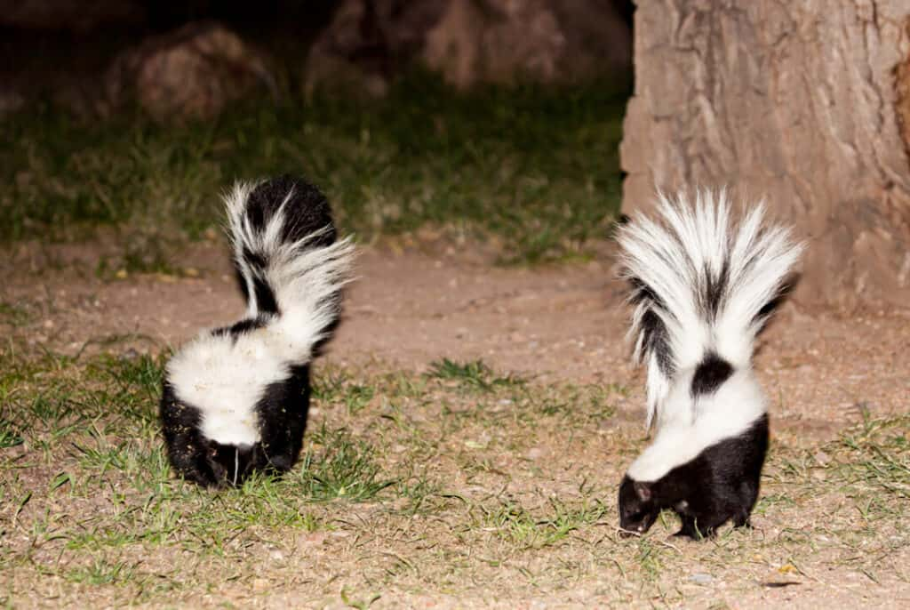 pair of striped skunks forage for food at night