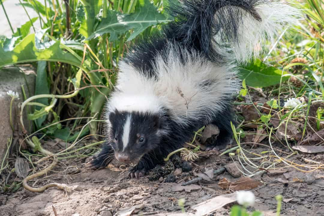 Very cute black and white baby skunks