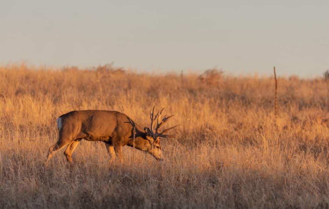 Mule Deer Buck in Colorado in Autumn