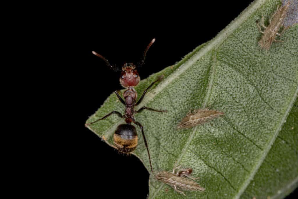 Adult Odorous Ant of the species Dolichoderus quadridenticulatus