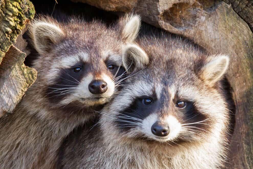 Adult raccoons at nest, Leeuwarden, Holland