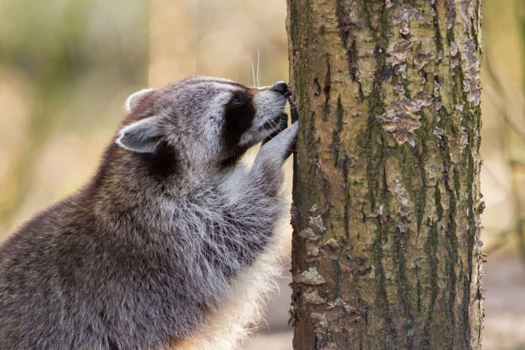 Adult raccoon at his nest, Leeuwarden, Holland