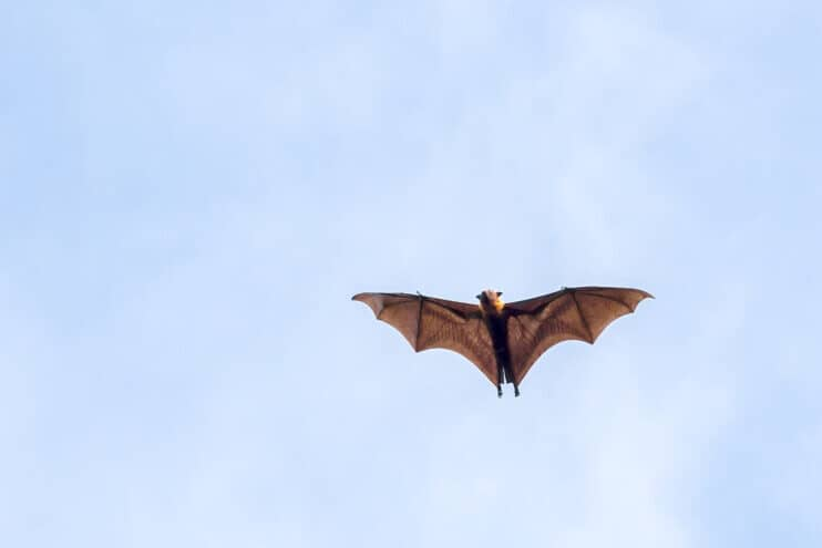 Giant fruit bat flying with blue sky background