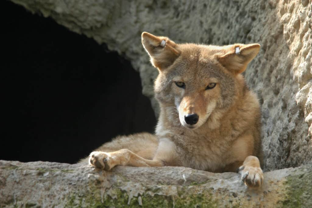 Coyote (Canis latrans)on rock.