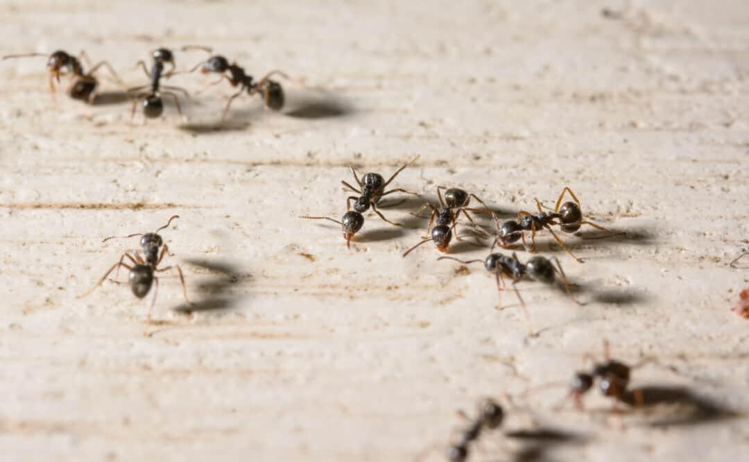 macro lot of black ants on wood