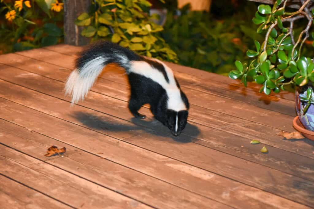 Skunk in Backyard Patio