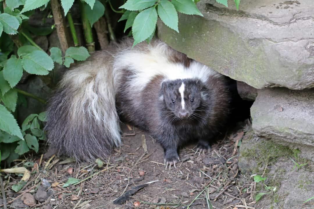 Skunk outside underneath rock