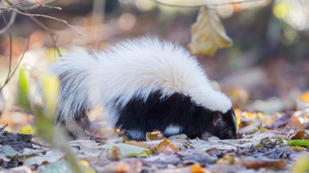 Skunk (Mephitis mephitis) in winter, selective focus