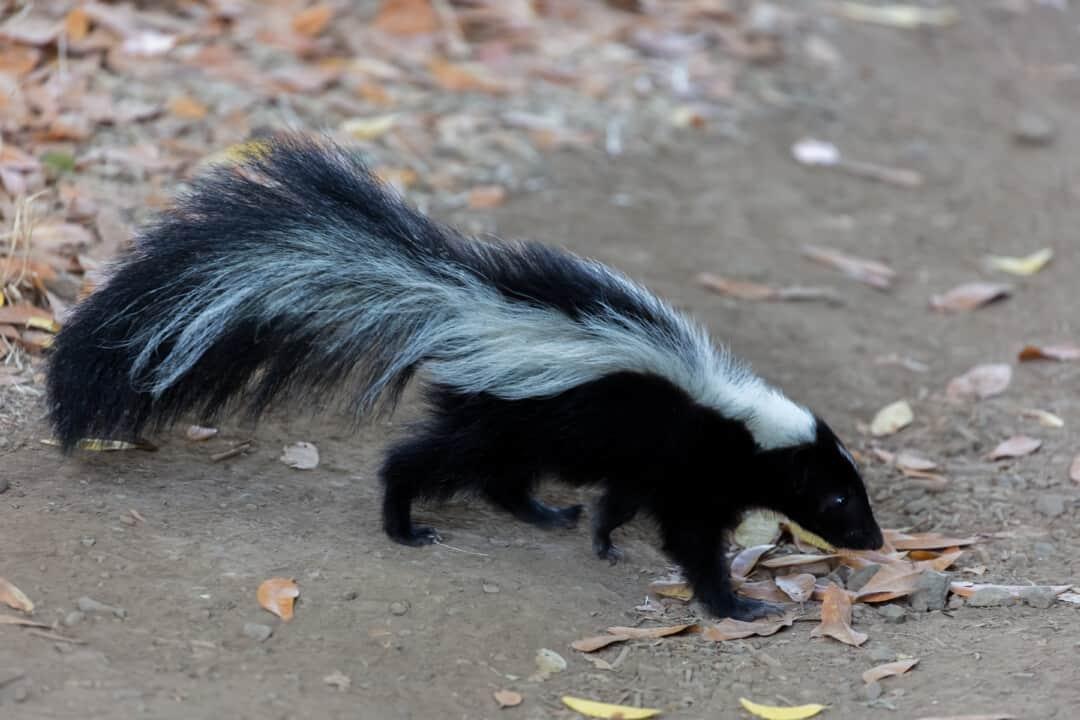 Striped Skunk - Mephitis mephitis. Santa Clara County, California, USA.