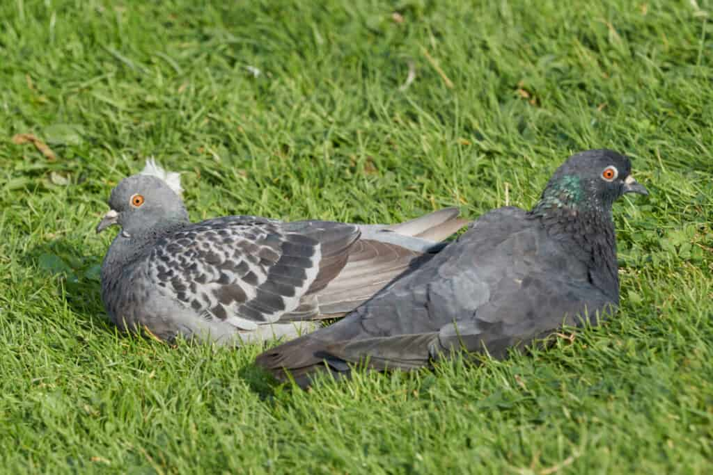 two pigeon on meadow