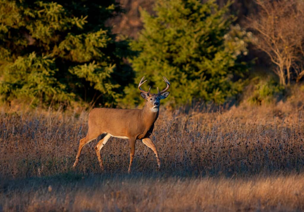 White-tailed deer buck in the early evening light during the rut