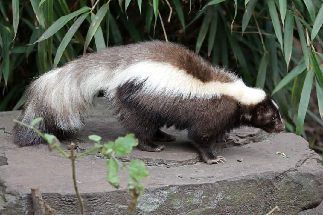 Skunk on a rock