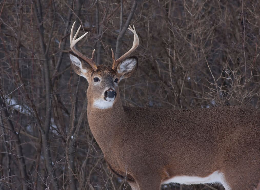White-tailed deer buck standing in a meadow