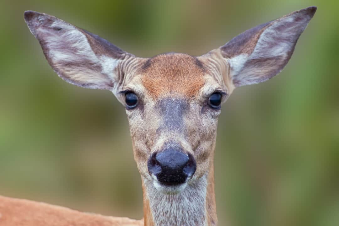 Close-up image of a White-tailed Deer.