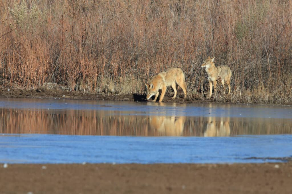 Coyote(s) in Bosque del Apache national wildlife refuge in New Mexico.