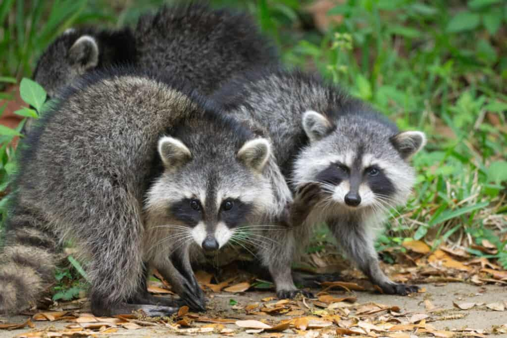 A pair of wild raccoons