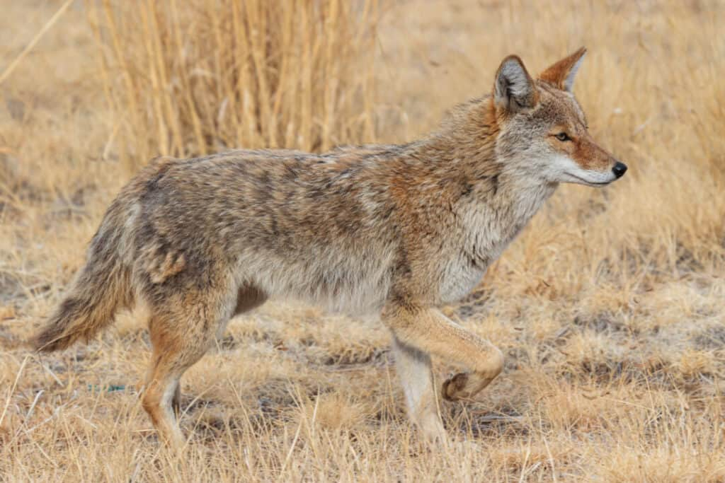 Wild Coyote in the Rocky Mountains of Colorado