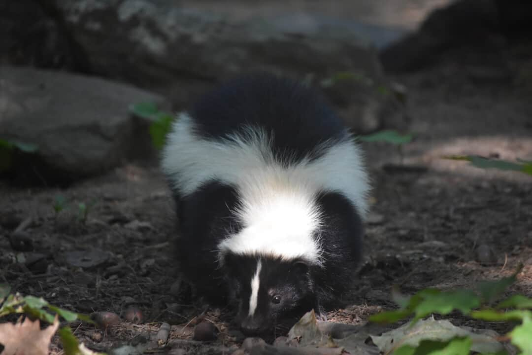 Adorable face of a wild black and white skunk.