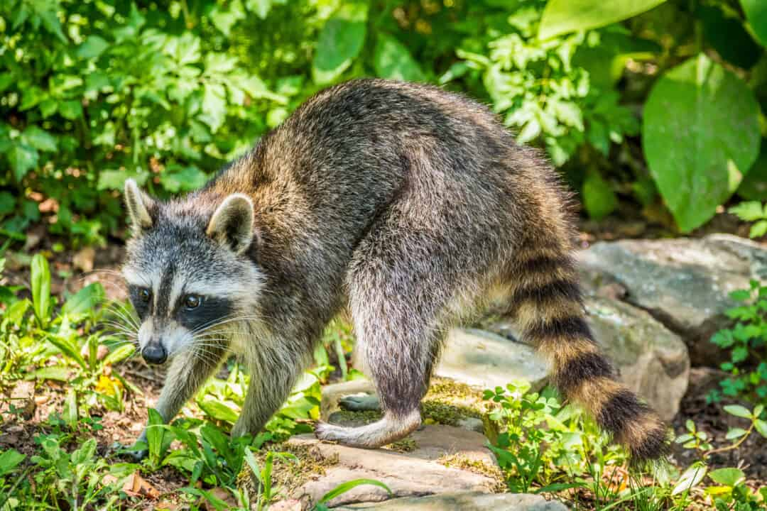 A young raccoon out during the daytime looking for food and water around the yard on a sunny summer day