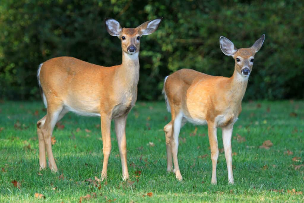 Two young White-tailed Deer standing in shady woodland in Maryland during the Autumn