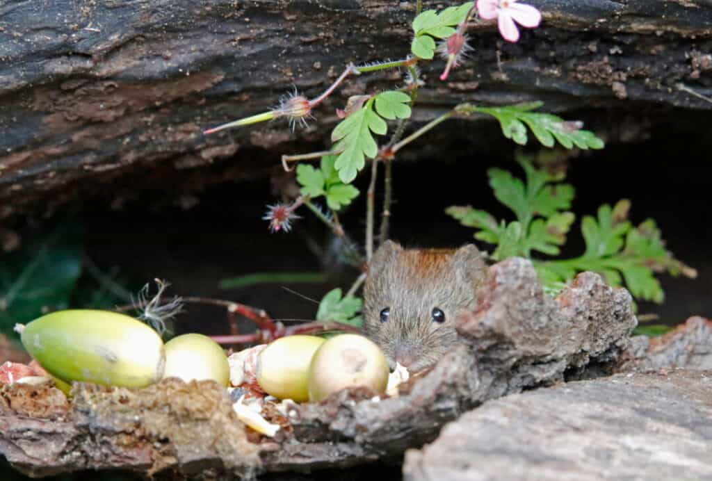Bank vole collecting nuts and seeds underneath the bird feeders