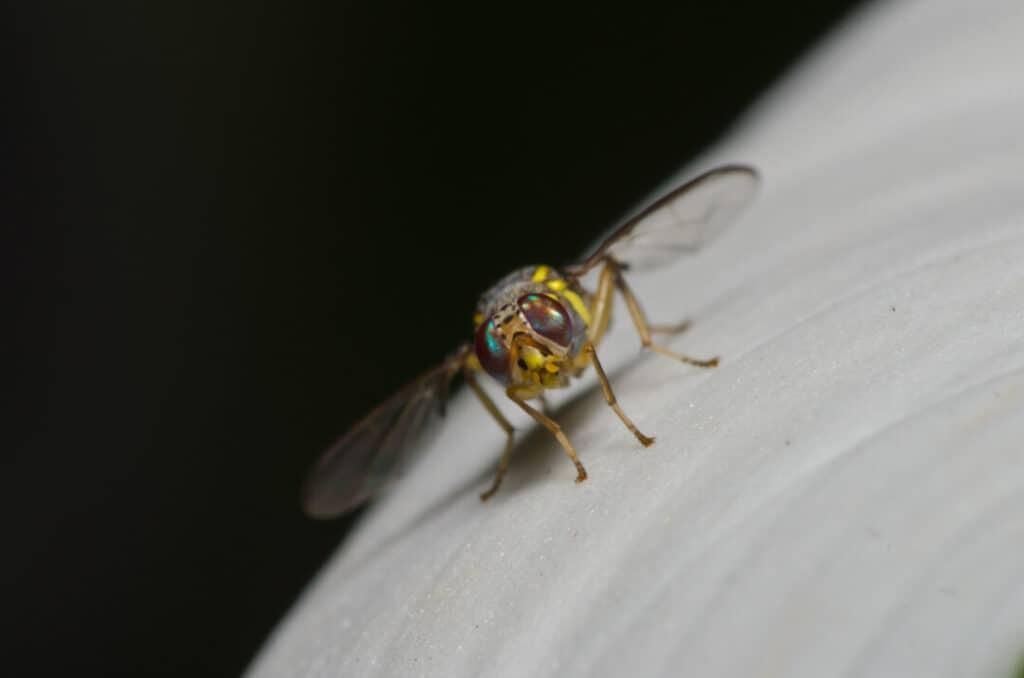 Oriental fruit fly