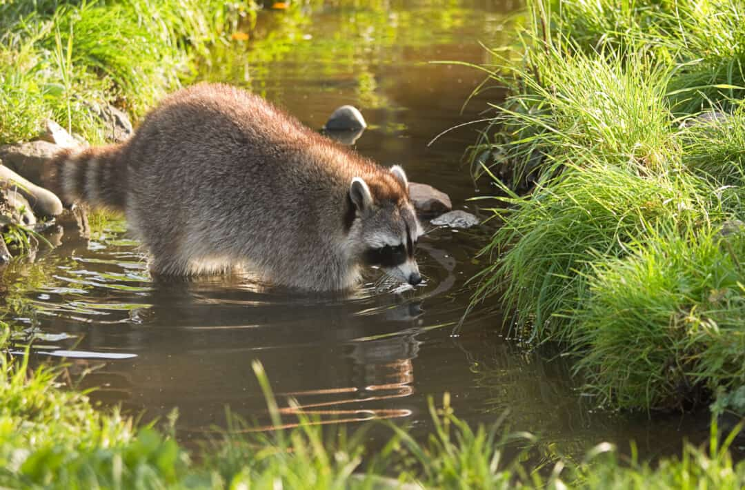 Common raccoon or Procyon lotor in evening sun searching for food in water
