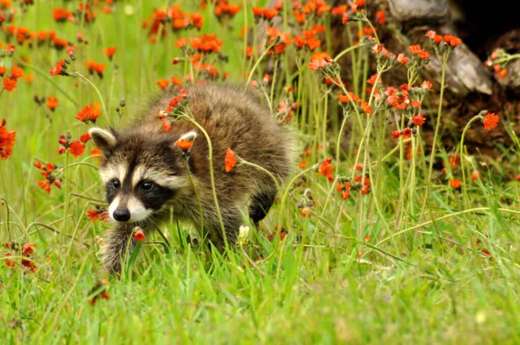 Young Raccoon with orange Hawkweed Flowers