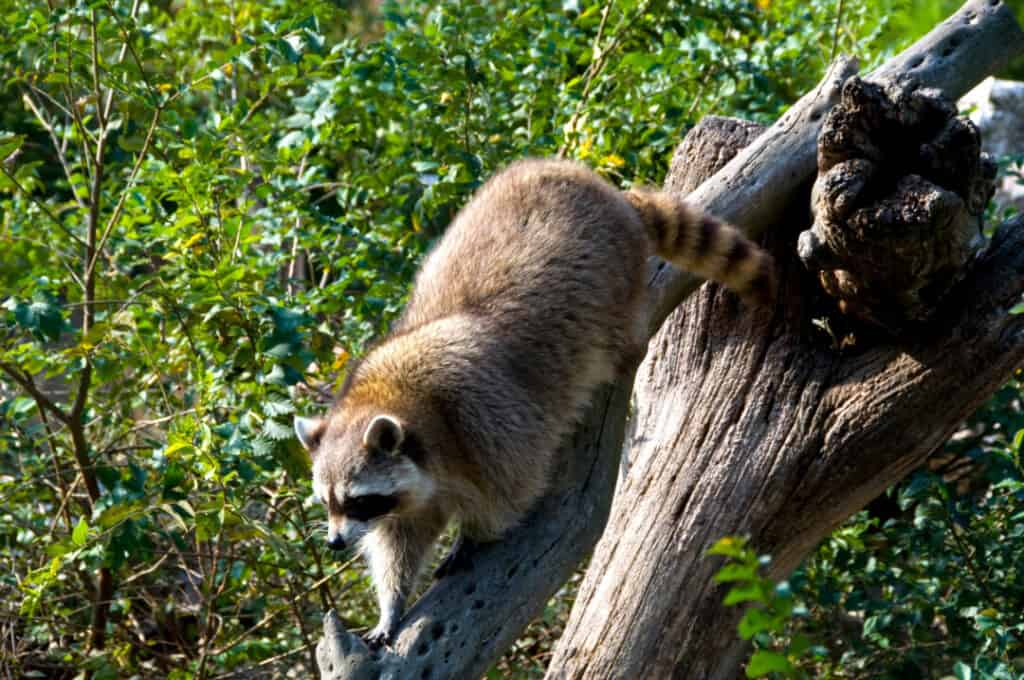 Curious raccoon on log