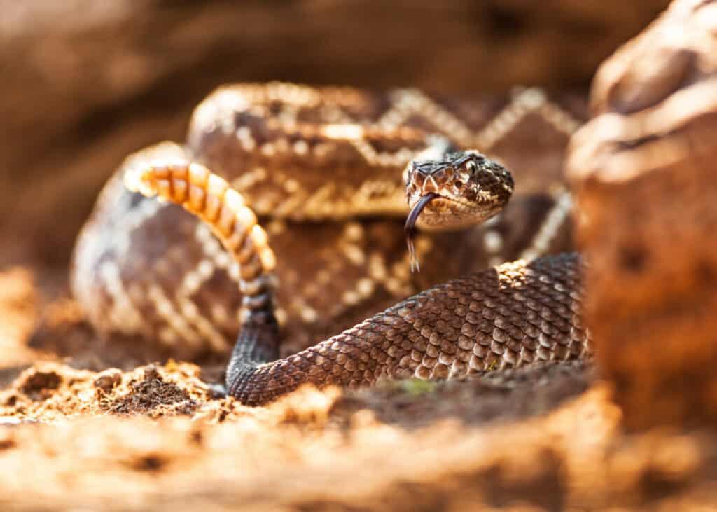 Closeup of rattlesnake on ground