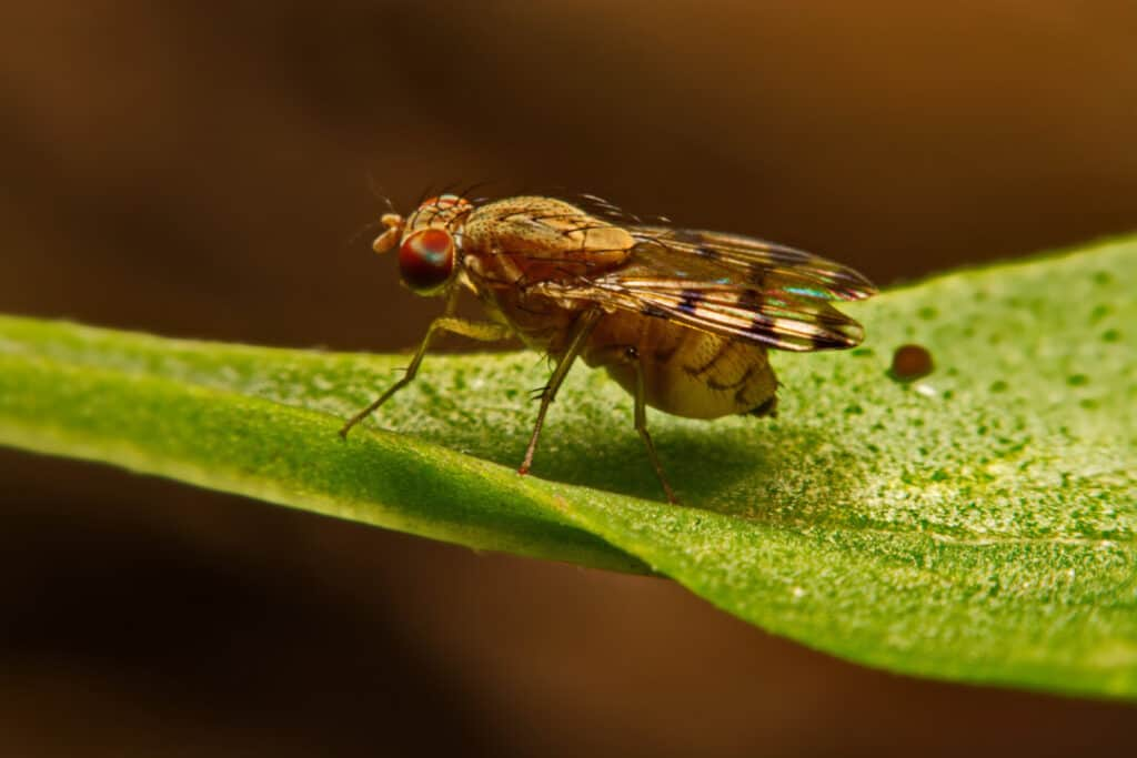 Close up fly (Drosophila melanogaster) fruit fly in nature