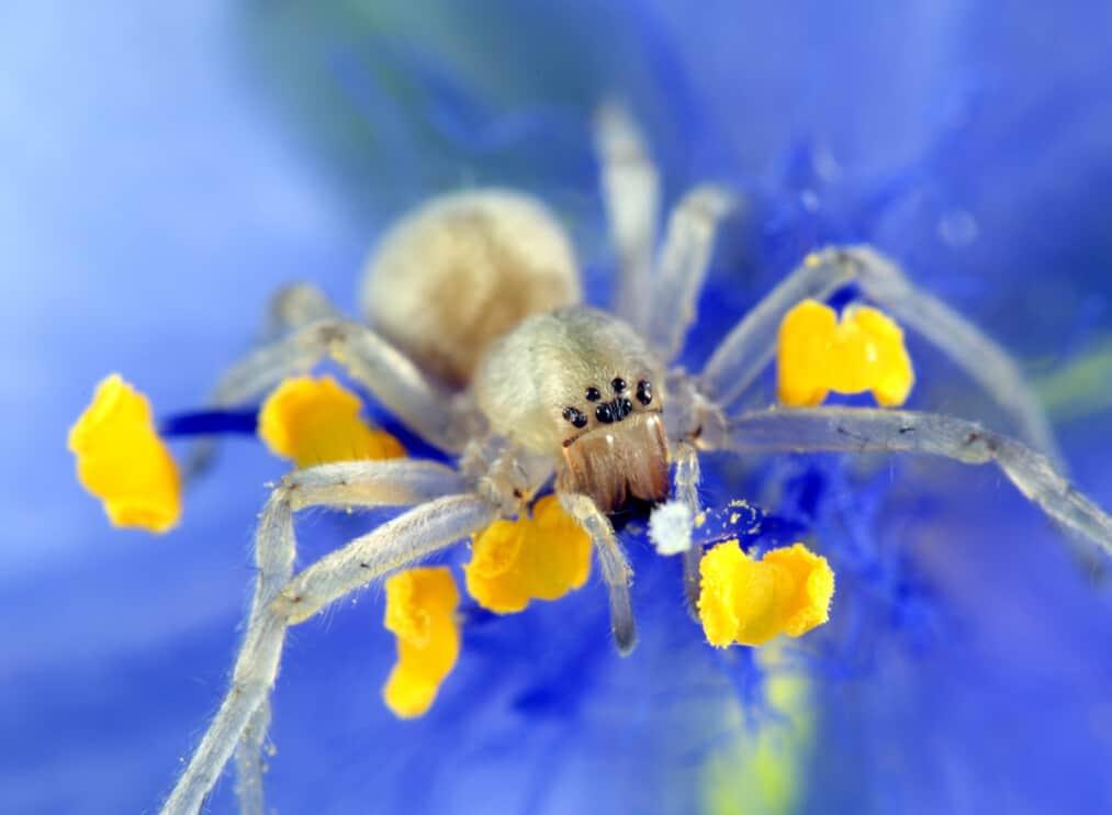 Yellow Sac Spider.