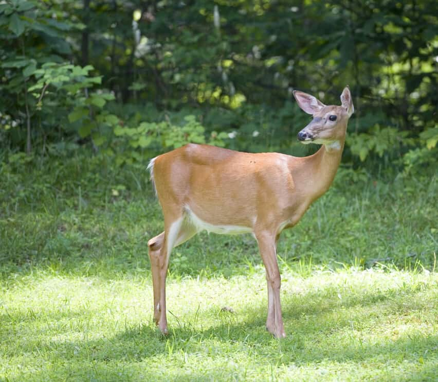 Whitetail deer doe that is out of the forest on grass in daylight