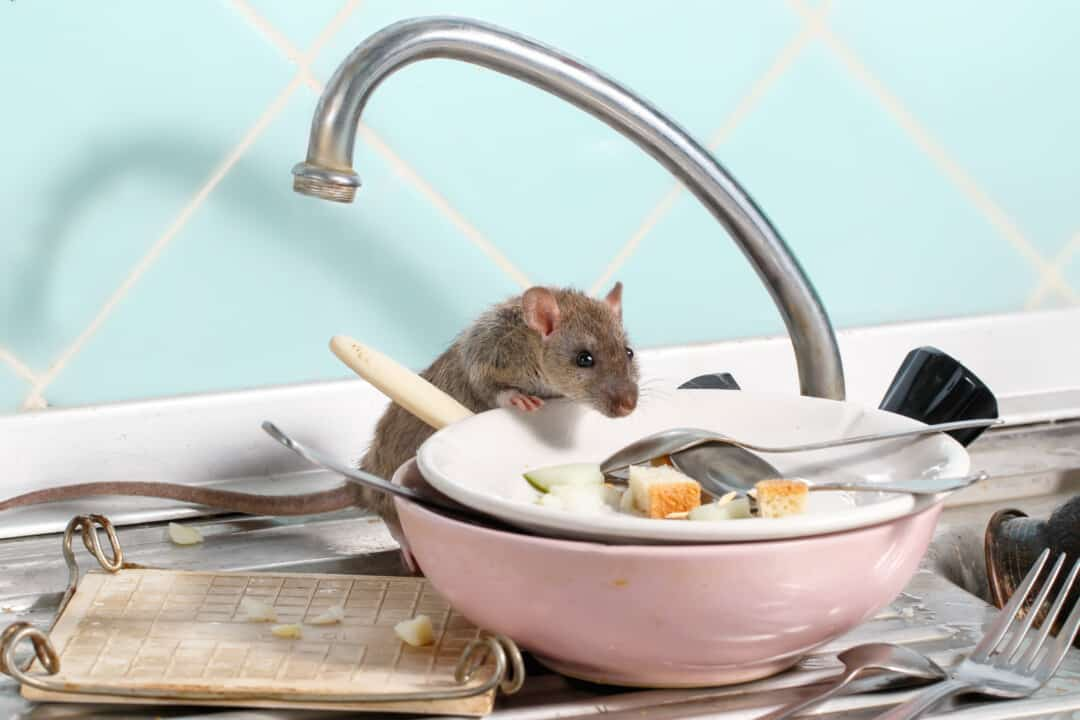 Young rat (Rattus norvegicus) climbs into the dish on the sink at the kitchen.