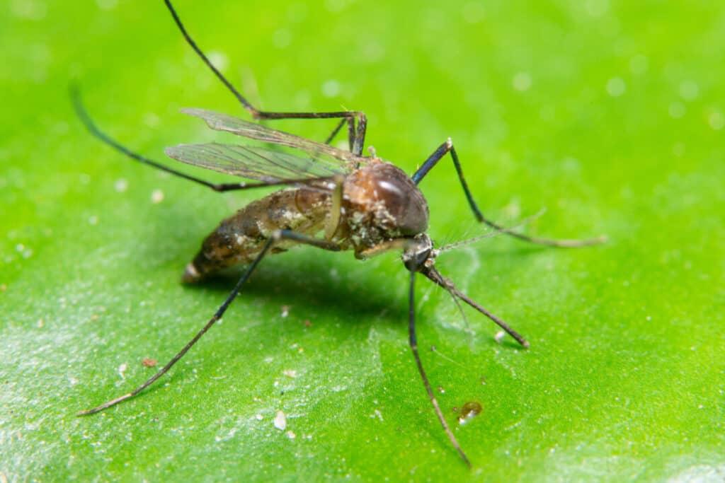 Macro Mosquito in Nature