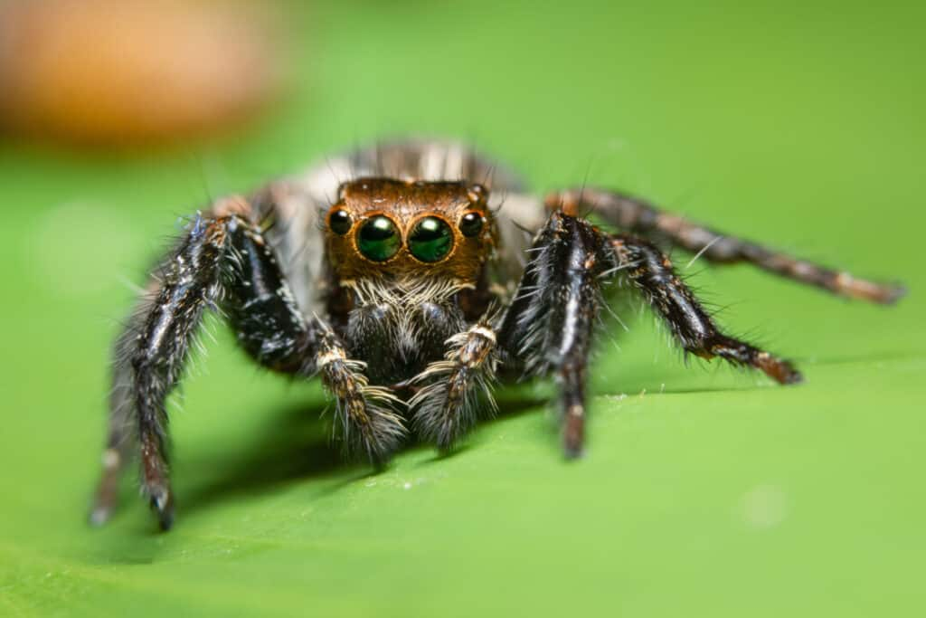 Jumping spider on the leaf.