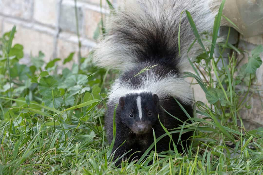 Young striped skunk (Mephitis mephitis)