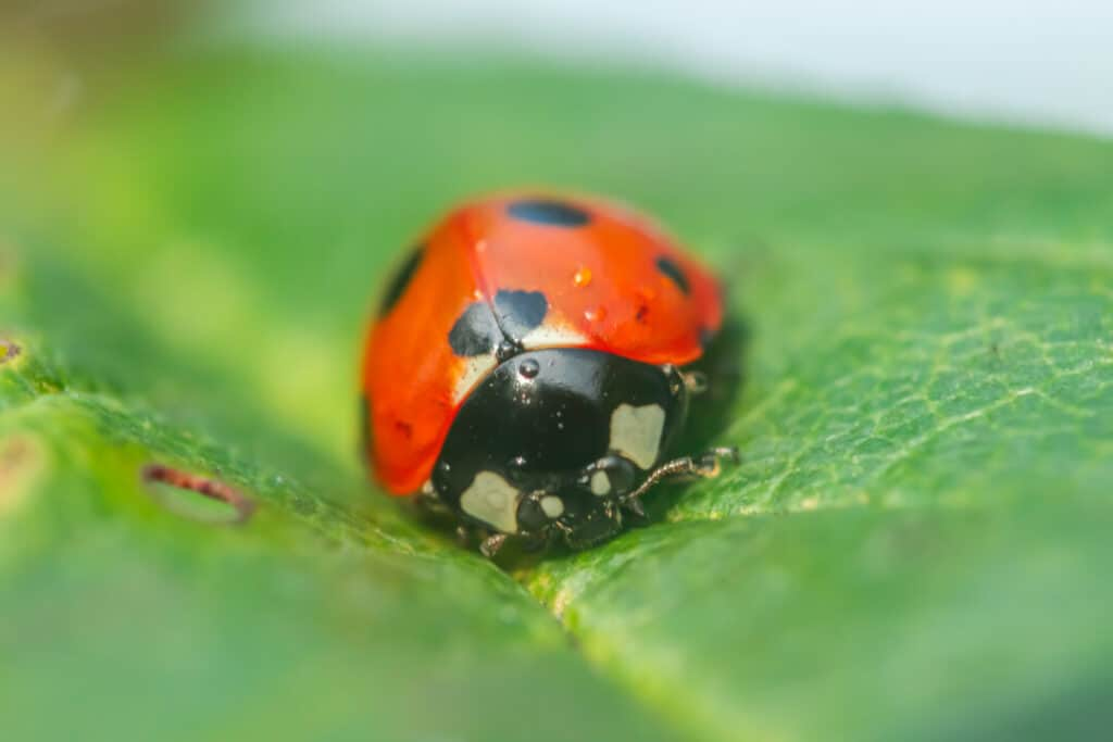 Red ladybug on a green leaf in the garden
